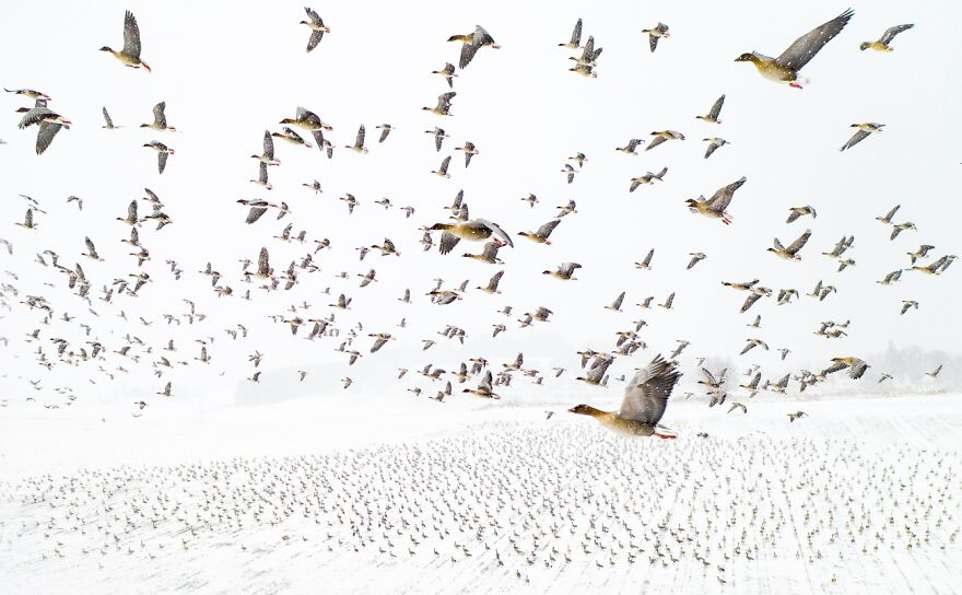 Pink-Footed Geese Meeting The Winter By Terje Kolaas (Photo Of The Year)