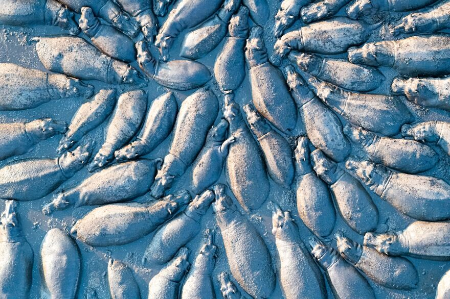 Hippopotamus Group From Above By Talib Almarri (Highly Commended In Wildlife Category)