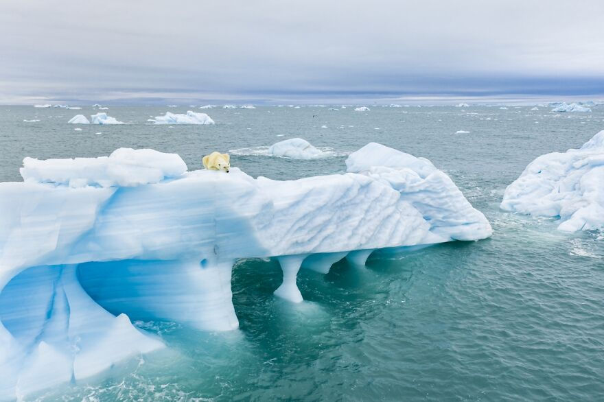 Polar Bear Hunting By Florian Ledoux (Highly Commended In Wildlife Category)