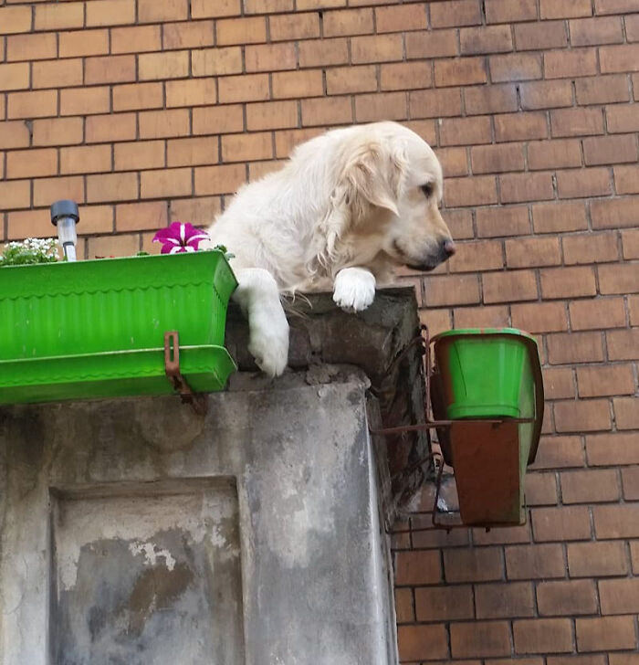 Golden Retriever Hanging Out On Its Balcony Became The Most Popular Tourist Attraction In Gdansk