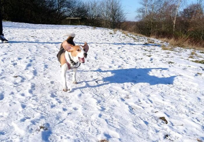 My Beagle's First Experience Of Playing In Snow, A Few Years Ago.