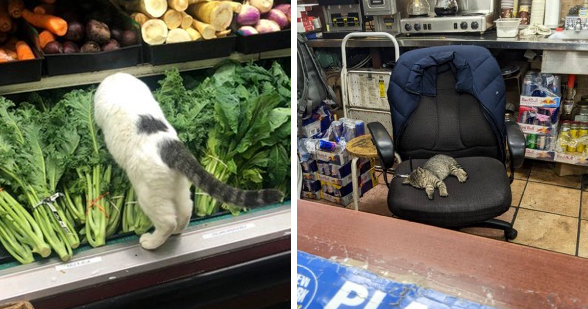 This Twitter Account Collects Photos Of Cats In Small Shops Looking Like They Own The Place (106 New Pics)