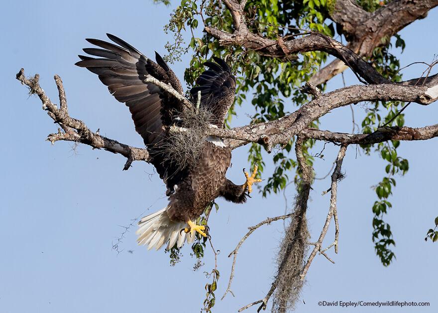 Majestic And Graceful Bald Eagle