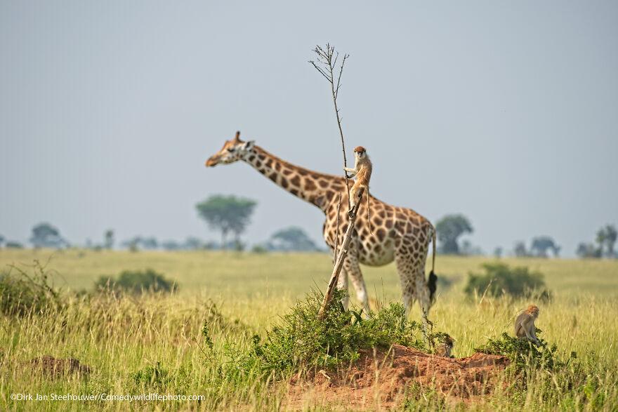 Monkey Riding A Giraffe