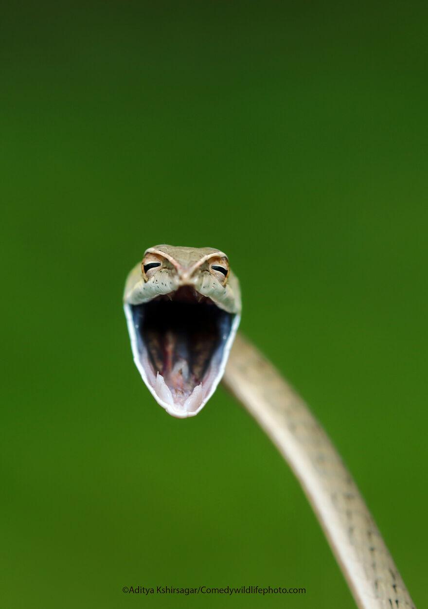 Laughing Snake