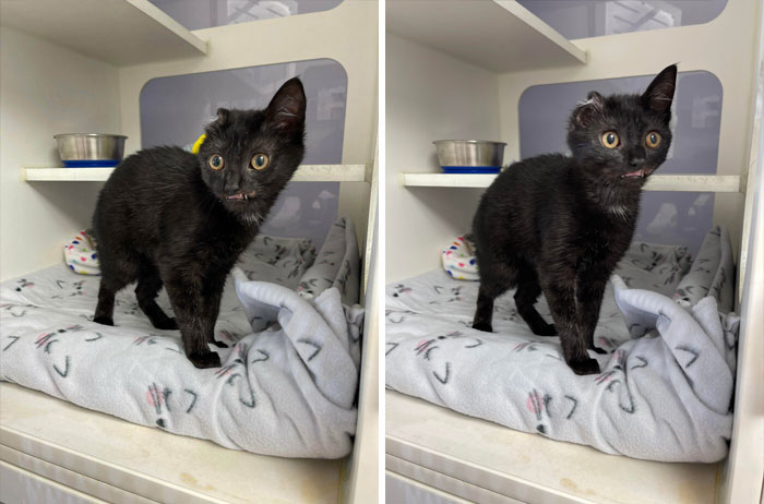 This Is Vana Gogh, A 3 Month Old Kitten Currently Looking For A Home At The Animal Rescue I Work For. Due To Some Injuries, She Has Permanent Teefies Showing And Only One Ear