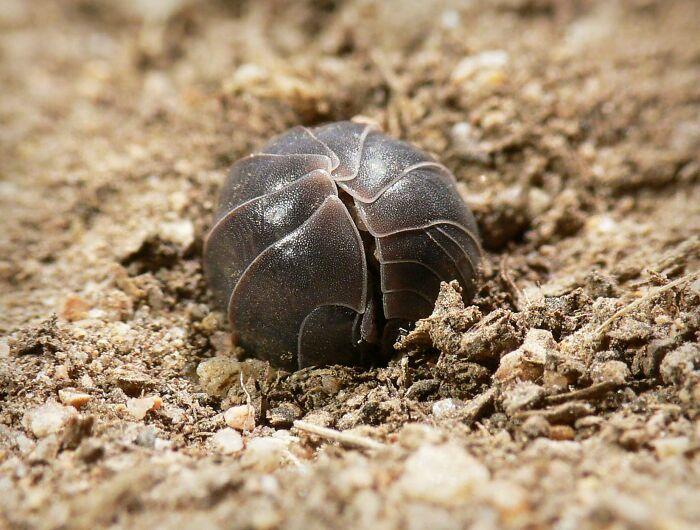 """Un nuevo estudio demuestra que las """"cochinillas"""" eliminan los metales pesados del suelo y protegen las aguas subterráneas. ¡Gracias a estos pequeños ayudantes!"""