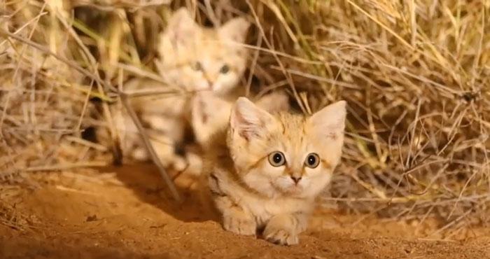 Los Gatos De Arena Son Especialistas En Sobrevivir En El Desierto.
