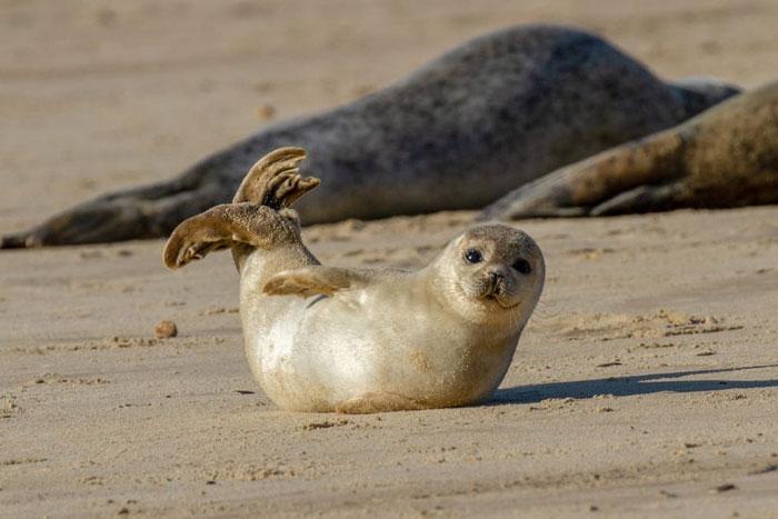Las focas realizan la pose de la banana cuando se sienten seguras y contentas