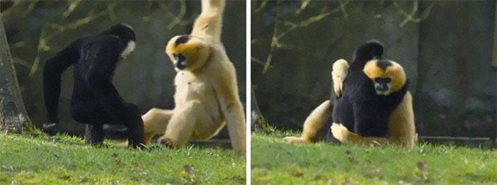 Los gibones son uno de los únicos primates no humanos que practican la monogamia