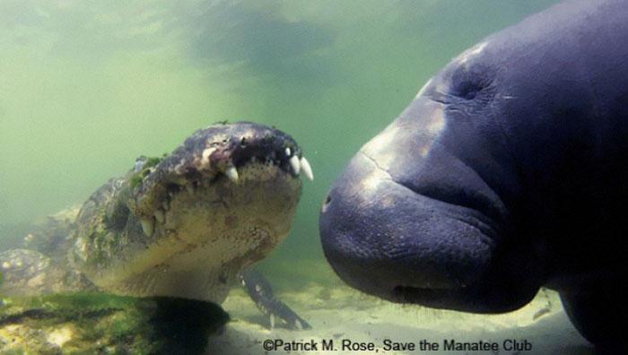 Los manatíes no tienen depredadores naturales importantes y pueden convivir pacíficamente con los caimanes
