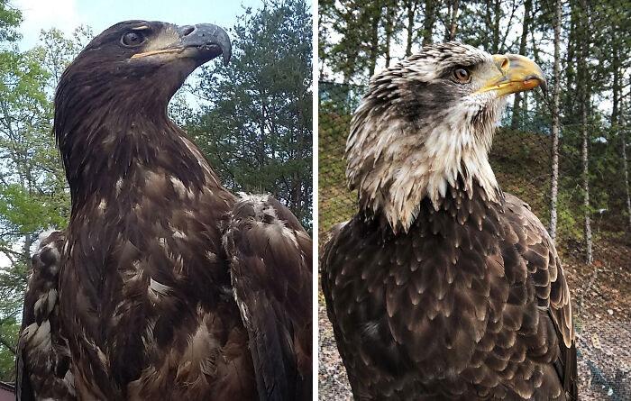 Las águilas calvas tardan unos cinco años en obtener su cabeza blanca