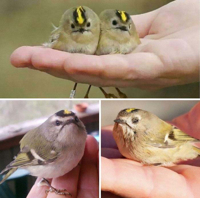Estos tipos son reyezuelos, los pájaros más pequeños de Europa