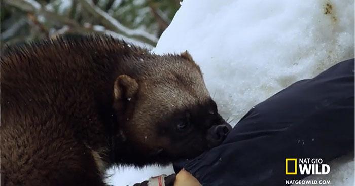 Se puede enseñar a los glotones a rescatar a los supervivientes de las avalanchas