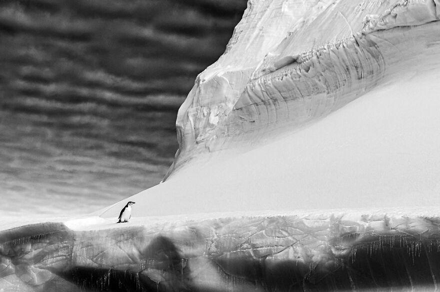 Black And White: 'Chinstrap Penguin' By Renato Granieri (Gold)