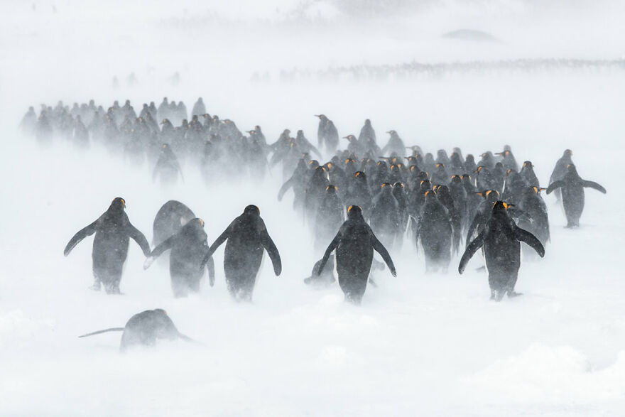 Highly Commended: Ben Cranke – The Blizzard (Birds In The Environment)