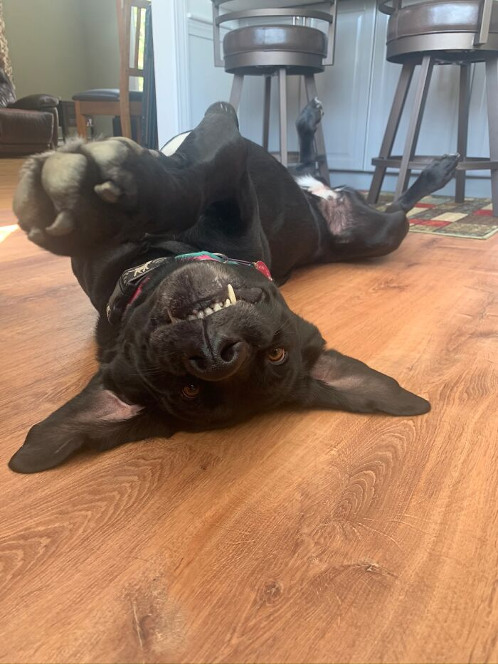This Is My Dog Akela. She's A 7 Year Old American Lab And She Demands Belly Rubs
