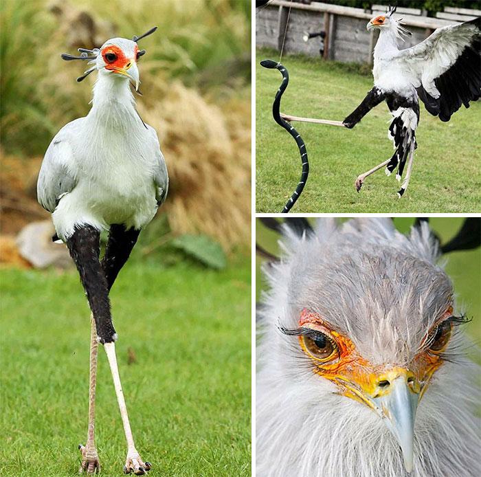 El pájaro secretario es famoso por sus patas golpeando serpientes; una sola patada proporciona unos 195 newtons de fuerza