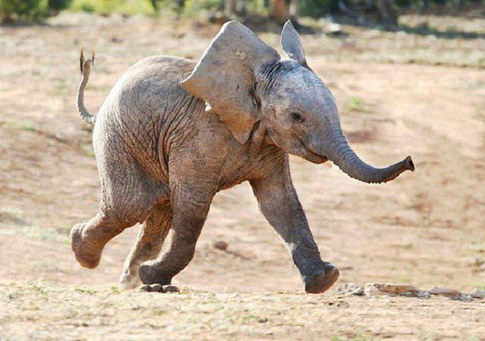 Los elefantes son animales inteligentes, sociales y empáticos que muestran un comportamiento de resolución de problemas espontáneo
