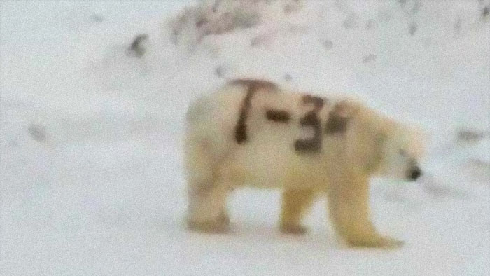 """The Russian Scientists Want To Know Who Wrote """"T-34"""" (Soviet Medium Tank) On The Side Of A Polar Bear"""