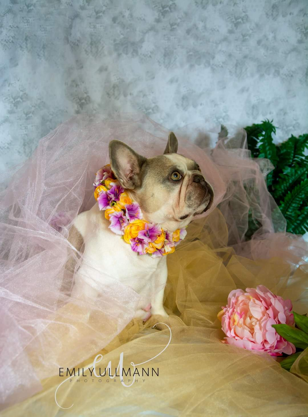 I Gave My French Bulldog Has Beautiful Maternity Shoot (6 Pics)