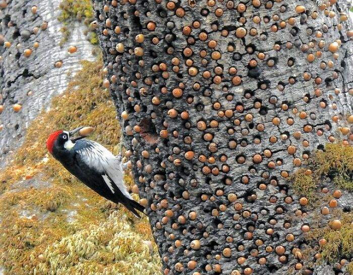 El alijo de bellotas de este pájaro carpintero en un árbol granero