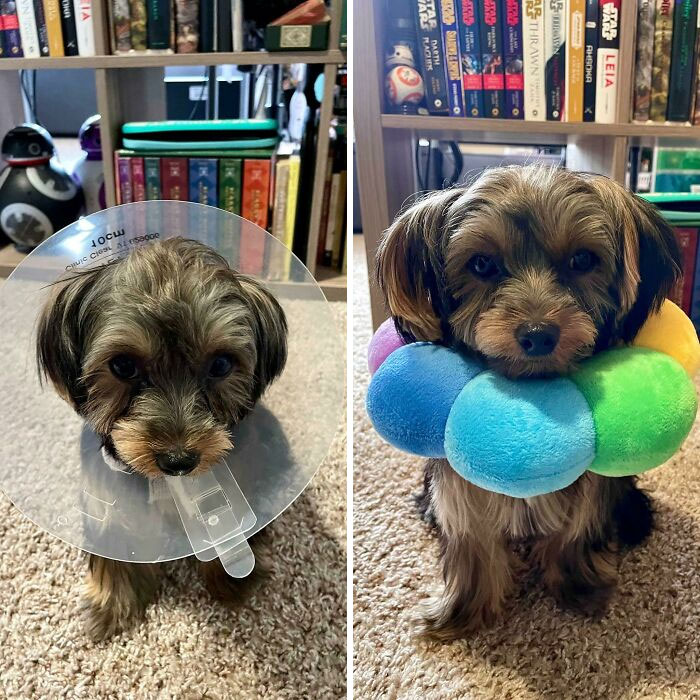 Jellybean Does Not Like The Cone Of Shame. He Tolerates The Flower Of Protection