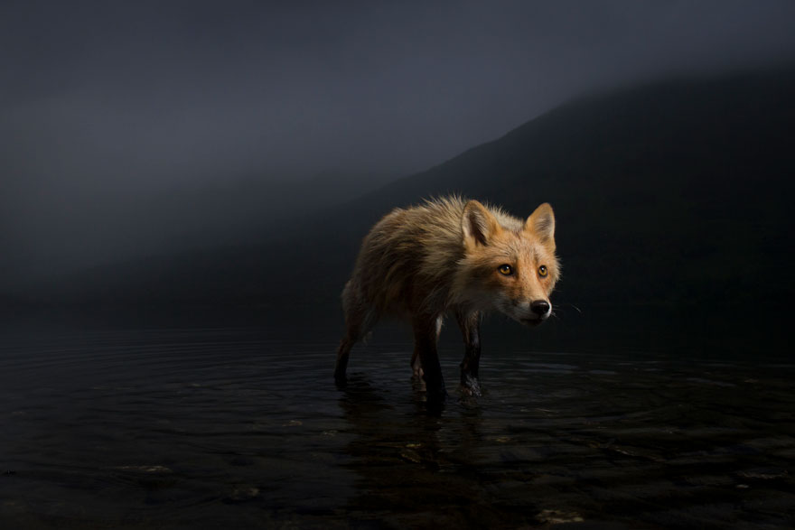 Storm Fox By Jonny Armstrong (USA), Highly Commended In Animal Portraits