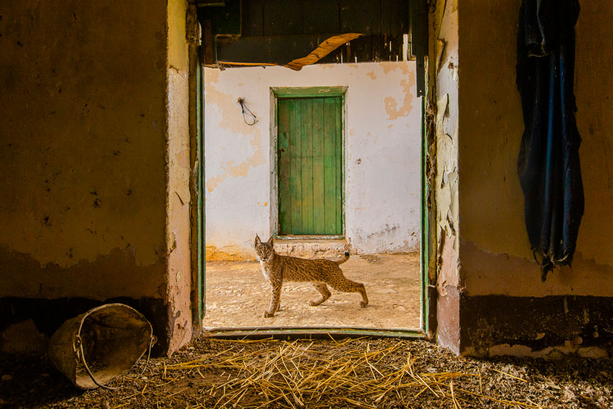 Lynx On The Threshold By Sergio Marijuán (Spain), Highly Commended In Urban Wildlife