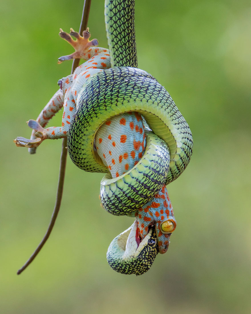 The Gripping End By Wei Fu (Thailand), Highly Commended In Behaviour: Amphibians And Reptiles