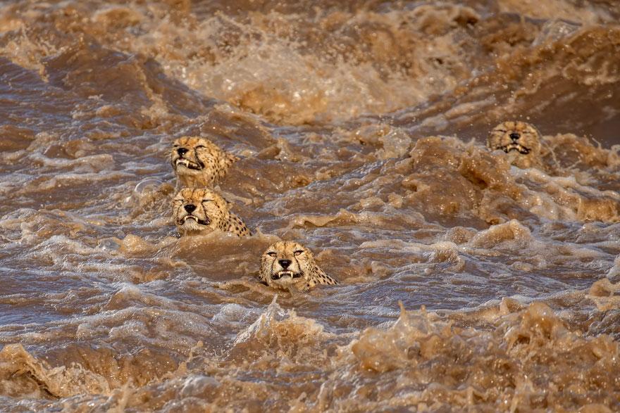 The Great Swim By Buddhilini De Soyza (Sri Lanka/Australia), Highly Commended In Behaviour: Mammals