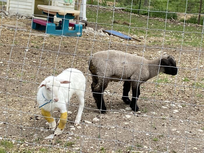 A New Kind Of Animal Rescue: Check Out These Cute Goats And Sheep