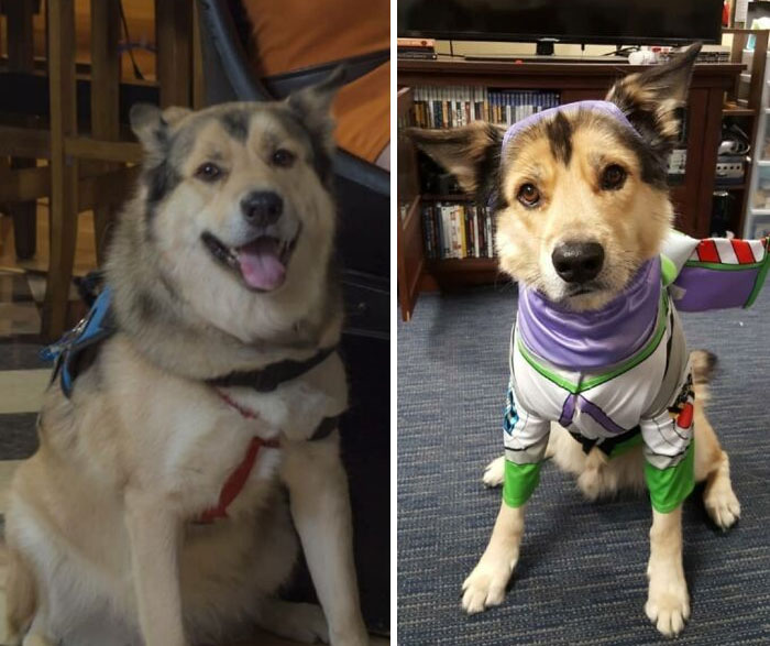 My Service Dog, Avalanche, Is Back To A Healthy Weight!