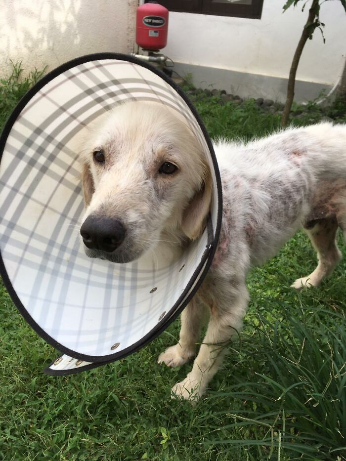 We Saved This Dog From A Neglectful Owner And Apparently, He's A Golden Retriever