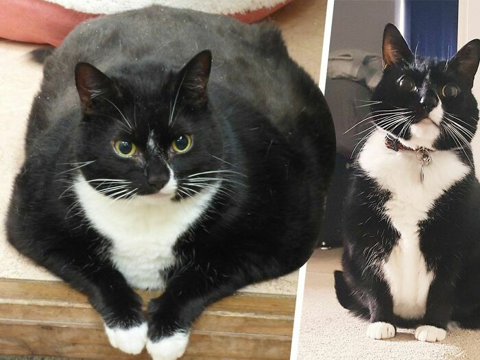 From Thicc To Stick: Massive Tuxie Loses 3 Kg/Half A Stone. More Pounds Have Rolled Since The Picture Was Taken (April 2019)