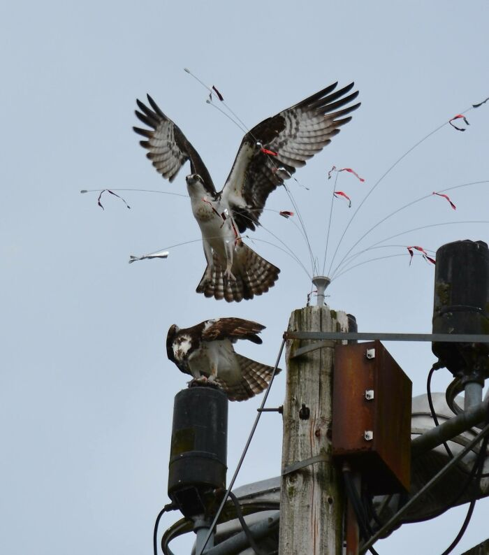 Ospreys - They Ended Up Using The Wires Designed To Keep Them Off And Wove Sticks Through Them, Making A Nest There.