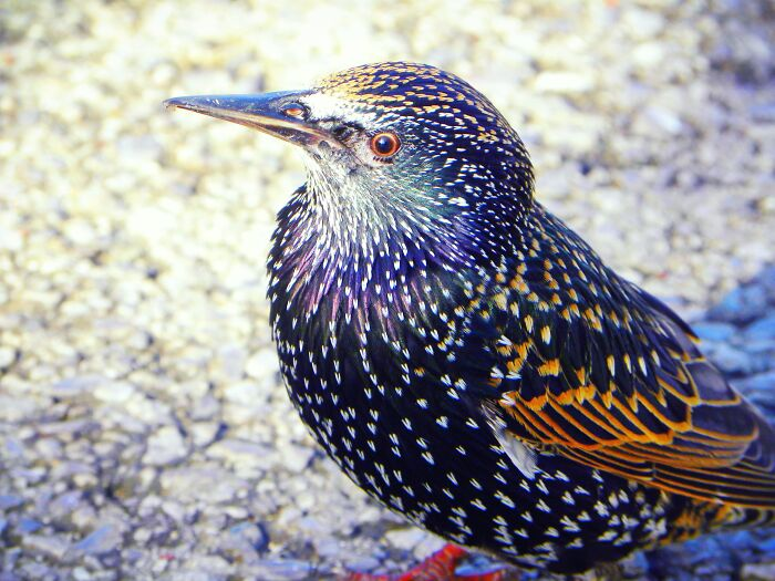 A Very Friendly Starling In The Park, I Love The Shiny Colours On Them!