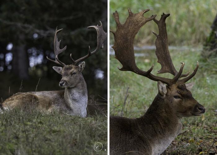 My 16 Photos Of Wildlife Deer In The Netherlands