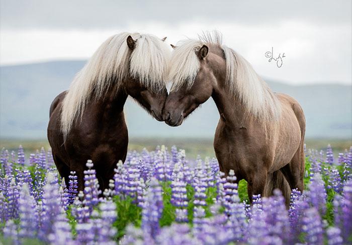 37 Pictures Of Beautiful Horses I Captured In Wild Icelandic Scenery (New Pics)