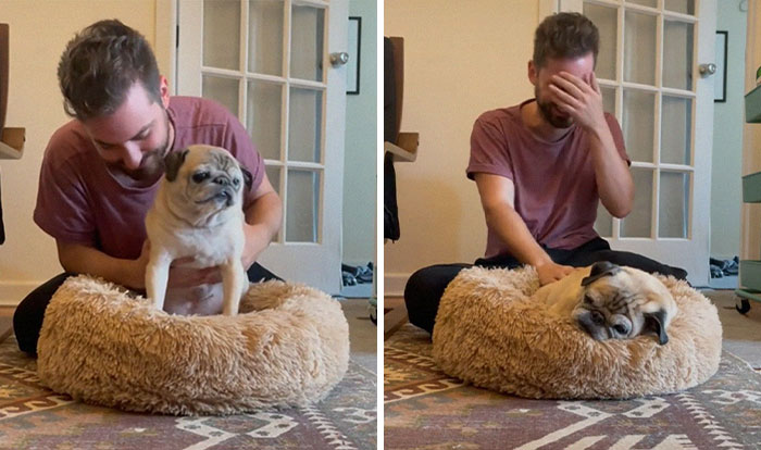 TikTok Video Of A Pug Being Way Too Lazy Goes Viral
