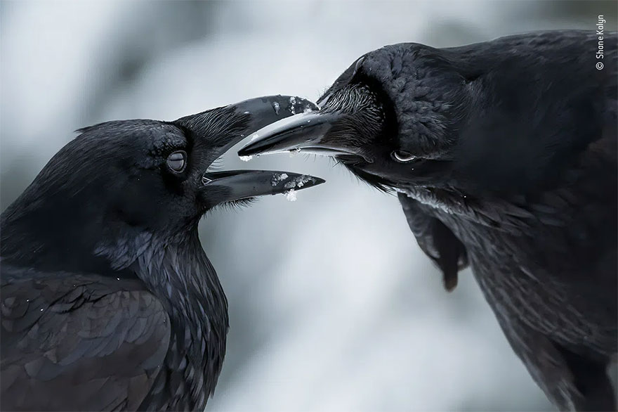 Category Winner. Behaviour: Birds: 'The Intimate Touch' By Shane Kalyn