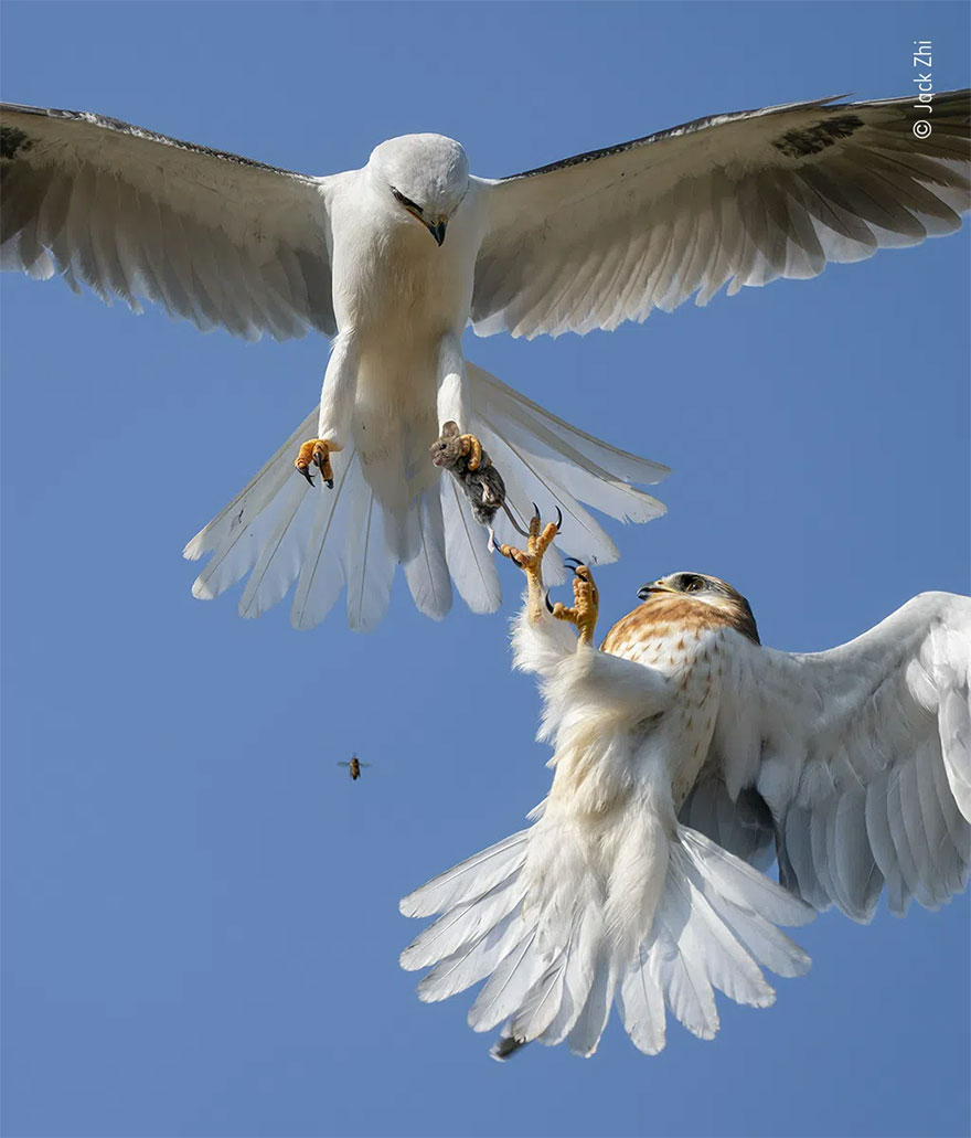 Highly Commended. Behaviour: Birds: 'Up For Grabs' By Jack Zhi