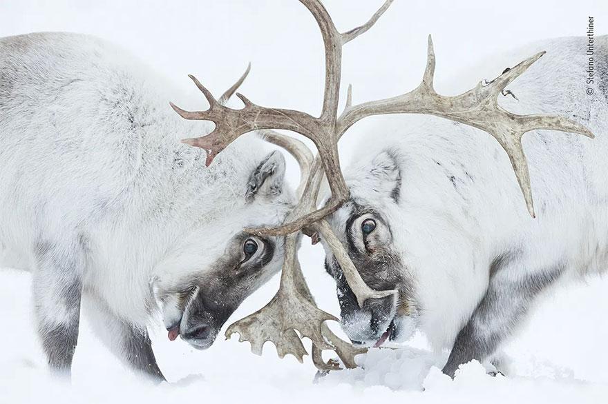 Category Winner. Behaviour: Mammals: 'Head To Head' Bystefano Unterthiner