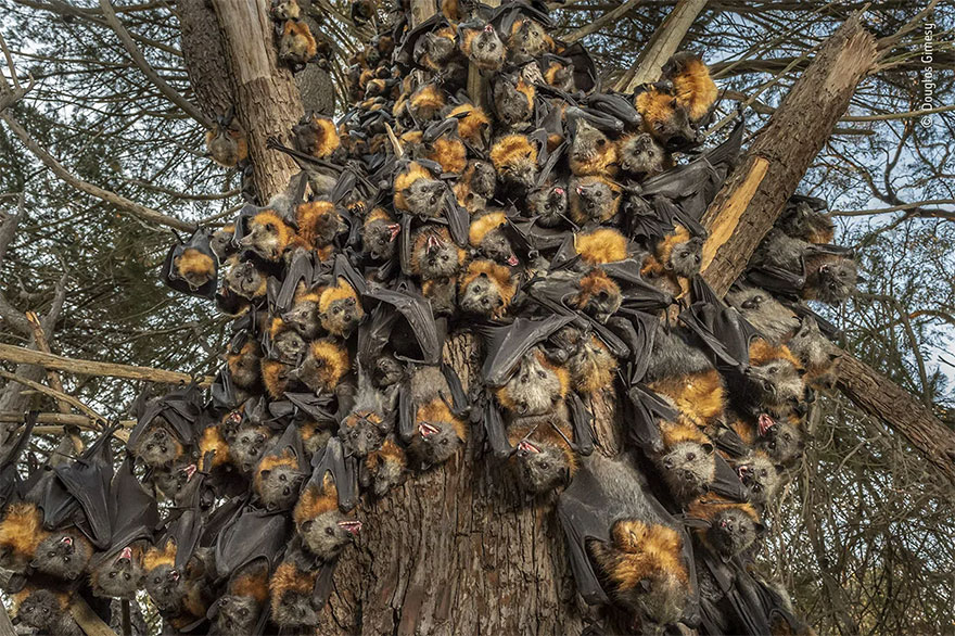 Highly Commended. Behaviour: Mammals: 'A Deadly Huddle' By Douglas Gimesy