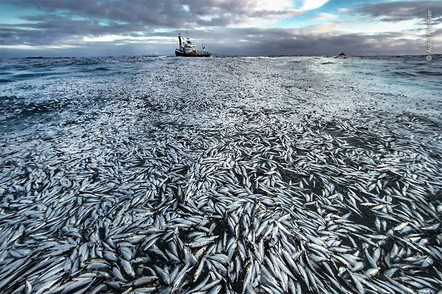 Highly Commended. Oceans - The Bigger Picture: 'Net Loss' By Audun Rikardsen