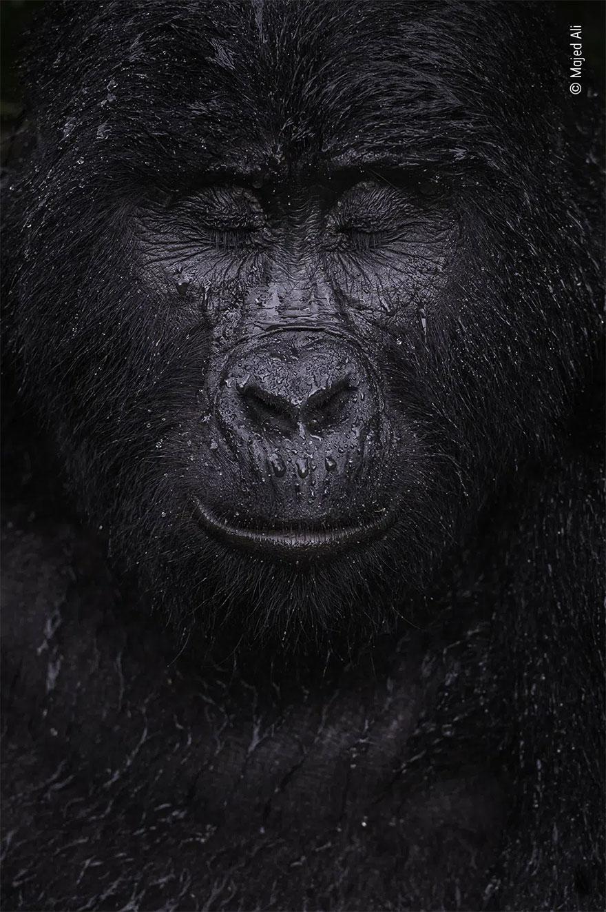 Category Winner. Animal Portraits: 'Reflection' By Majed Ali