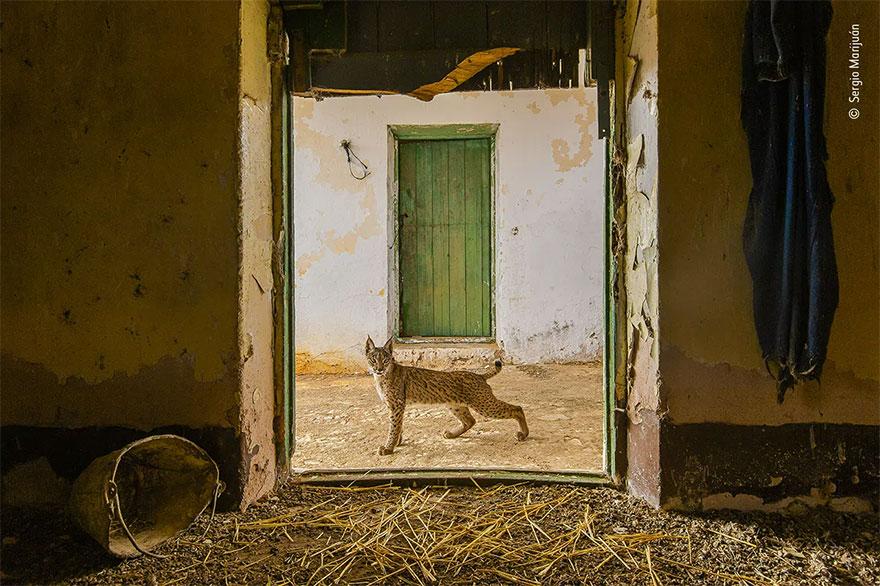 Highly Commended. Urban Wildlife: 'Lynx On The Threshold' By Sergio Marijuán