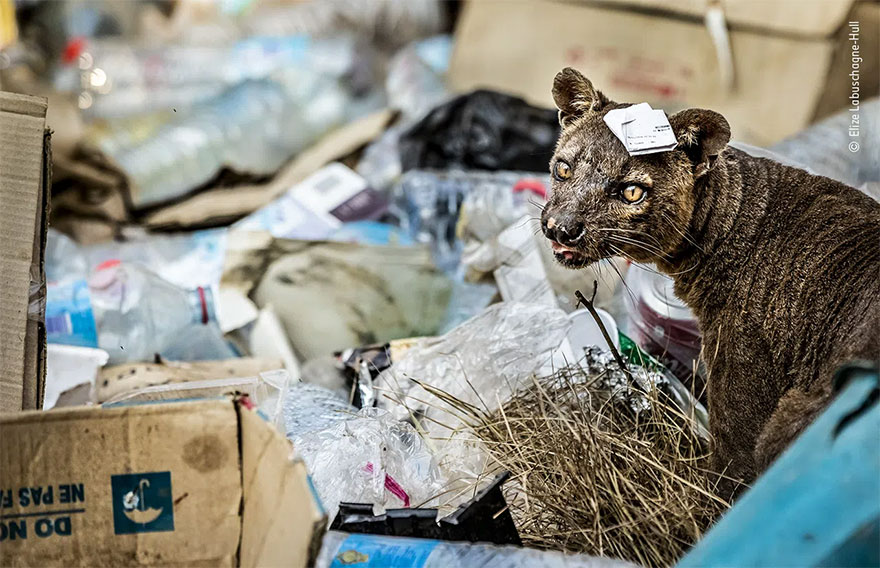Highly Commended. Urban Wildlife: 'Fossa In A Mess' By Elize Labuschagne-Hull