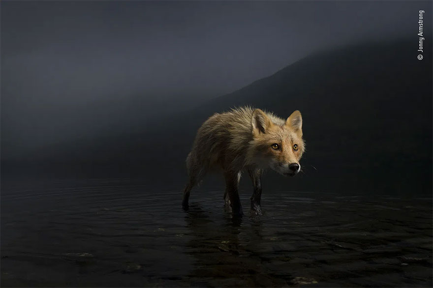 Highly Commended. Animal Portraits: 'Storm Fox' By Jonny Armstrong