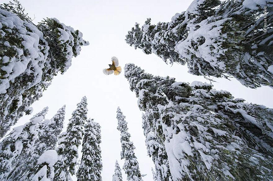 Category Winner. 15-17 Years: 'High-Flying Jay' By Lasse Kurkela